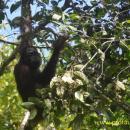 Orangutan Wehea