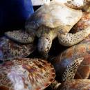 Sea turtle trade in Bali