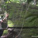 pohon besar yang tumbang di hutan lindung Wehea