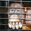 Orangutan trade